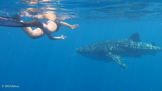 Nager avec les requins baleine à Madagascar