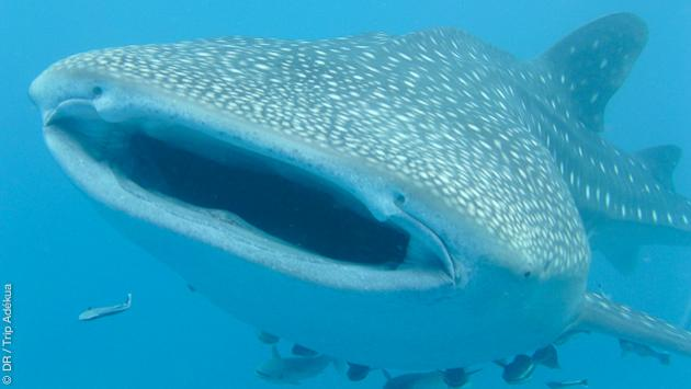 requin baleine à Madagascar